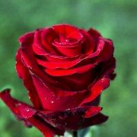Алая роза :: Sergey Lebedev