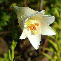 Мои лилии :: Елена Секретова