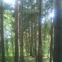 Сосновый лес. :: Александр