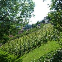 Виноградники в Праге :: Наиля