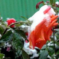 роза в снегу... :: Юрий Владимирович