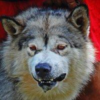 Идёт охота на волков - идёт охотаааааааааааааааа!!! :: Владимир Хиль