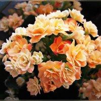 Каланхоэ цветёт :: Людмила Ардабьева