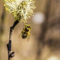 Пчелка :: Ruslan Shir