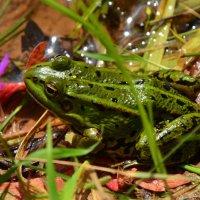 Вот такая зеленая лягушка. :: Ирина Никифорова