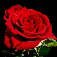 Красная роза - царица цветов :: Наталья Джикидзе (Берёзина)