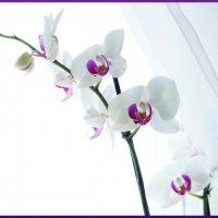 Фаленопсис 3 (орхидея) :: YURII K