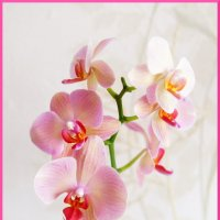 Фаленопсис 1 (орхидея) :: YURII K