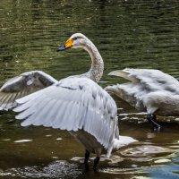 Лебеди :: Nn semonov_nn