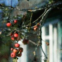 Последние яблочки :: Шаметько Инесса