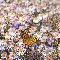 Бабочкино лето... :: Елена Васильева