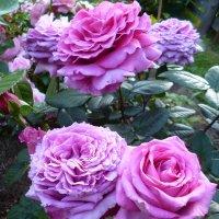 роза Chartreuse de Parme :: lenrouz