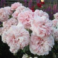 роза Home & Garden :: lenrouz