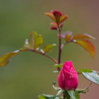 Как роза во время мороза! :: Александр Земляной