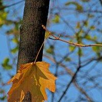 Одинокий жёлтый лист. :: Александр Корчемный