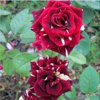 Розы июня... :: Тамара (st.tamara)