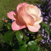 Розовая роза... :: Наталья
