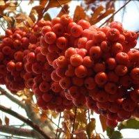 Шикарная гроздь :: Татьяна Пальчикова