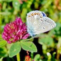 Бабочка на клевере :: Татьяна Н.