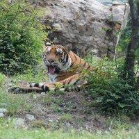 Не будите спящего тигра :: Павел Кочетов