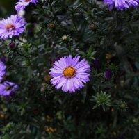 Осенние цветы :: Екатерина Кимстач