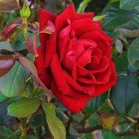 Красная роза. :: Маргарита ( Марта ) Дрожжина