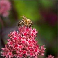 Очиток и пчела. :: Юрий