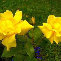 Жёлтые розы красивы необычайно! :: Лия ☼