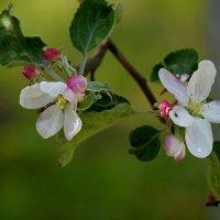 яблоня цветёт.... :: Ольга Cоломатина