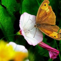 бабочка :: Николай Климанов