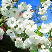 вишневое дерево :: Вадим Вайс