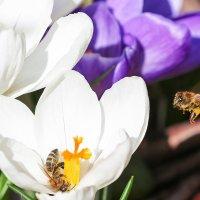 трудолюбивые пчелы :: Вадим Вайс