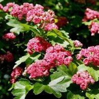 Боярышник обыкновенный Пауль Скарлет со цветками розово-красными, махровыми :: Елена Павлова (Смолова)