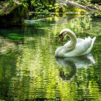Лебедь на озере :: Александр Хорошилов