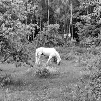 Про белую лошадь в заброшенном  саду :: Юрий Савинский