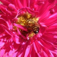 Пчелка и астра. :: Наталья