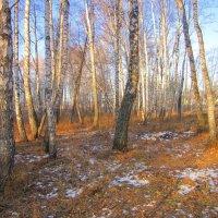 Солнечное утро в берёзовой рощице. :: Мила Бовкун