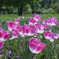 Тюльпаны в Ботаническом саду. Краснодар :: Алёна Чалова