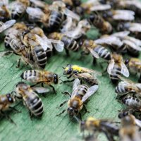 Пчелки :: Анастасия Крупкина