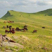 В холмах зеленых табуны коней... :: Николай Привалов
