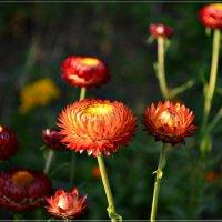 Сухоцветики :: galina tihonova