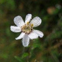 Скромный цветок полевой... :: ТАТЬЯНА (tatik)