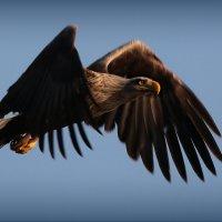 Белохвостый орлан :: Андрей Иванченко
