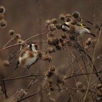 щеглы питаются семенами репейника :: Михаил Жуковский