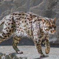 Виверрова кошка :: Nn semonov_nn