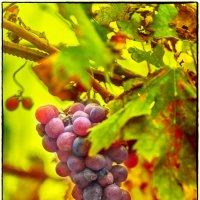 Болгарский виноград :: Леонид