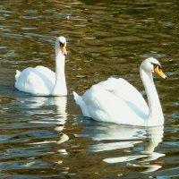 Проплывают лебеди... :: Наталья