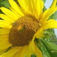 Пчелка :: Елена Михайловна Петрова