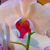 орхидея :: Ирина ***
