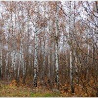 Ноябрь в берёзовой роще... :: Тамара (st.tamara)